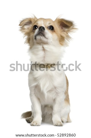 Chihuahua, 10 months old, sitting in front of white background - stock photo