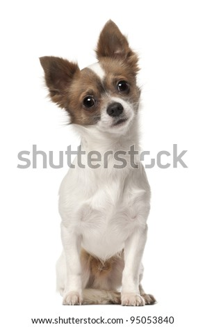 Chihuahua, 9 months old, sitting in front of white background