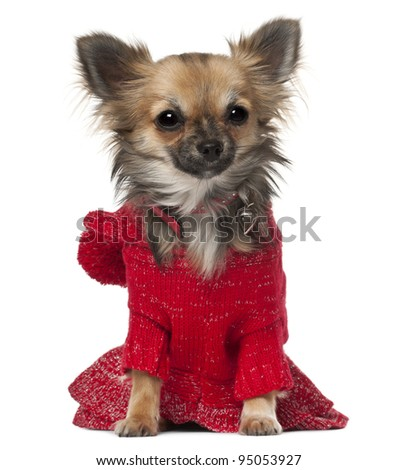 Chihuahua, 7 months old, sitting in front of white background - stock photo