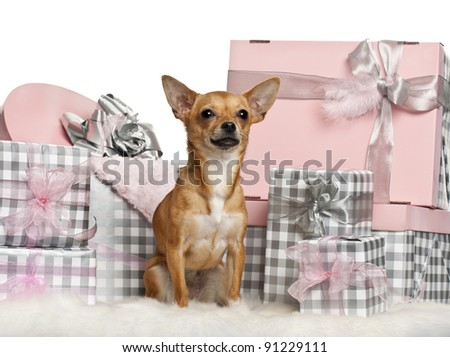 Chihuahua, 10 months old, sitting with Christmas gifts in front of white background