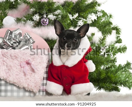 Chihuahua, 7 months old, wearing Santa outfit with Christmas gifts in front of white background