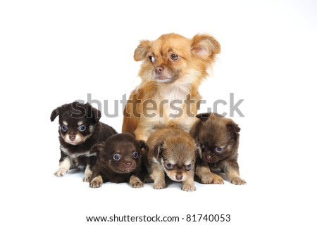Chihuahua mother and her 4 puppies  in front of white background