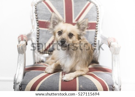 chihuahua on a chair
