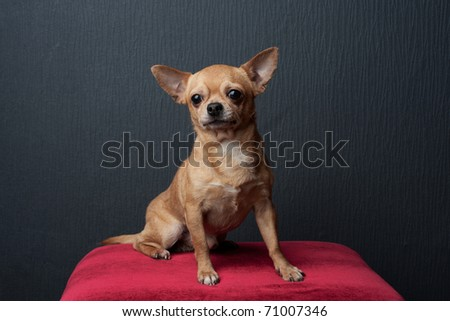 Chihuahua on the black background - stock photo