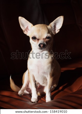 chihuahua on the couch
