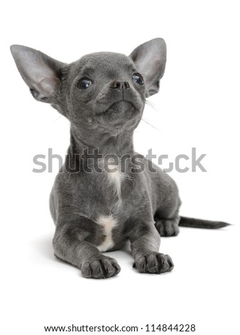 Chihuahua on the white background - stock photo