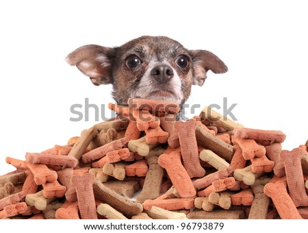 Chihuahua peeking over large mound of  dog bone shaped treats or biscuits on a white background - stock photo