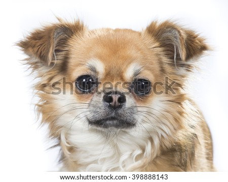 Chihuahua portrait. Image is a closeup of the dog's face. Image taken in a studio.