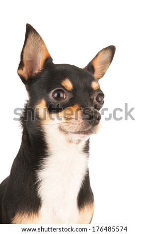 Chihuahua portrait isolated over white background