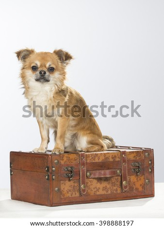 Chihuahua portrait. The dog is sitting on a wooden suitcase. Image taken in a studio.