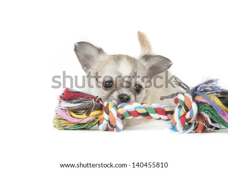 chihuahua pup isolated on white background - stock photo
