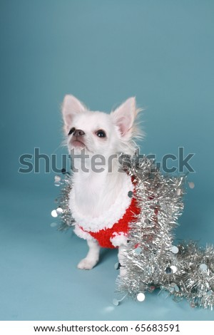 Chihuahua pup playing with xmas decoration on colored background - stock photo