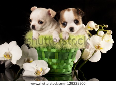 Chihuahua puppies and flower orchid white - stock photo