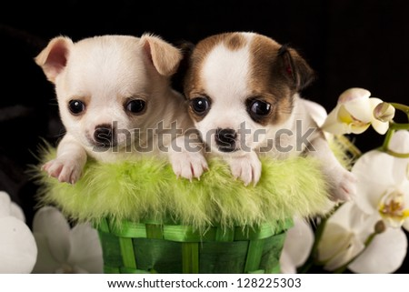 Chihuahua puppies and flower orchid white