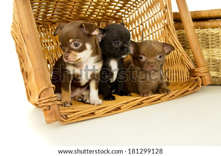 chihuahua puppies for background baskets isolated - stock photo