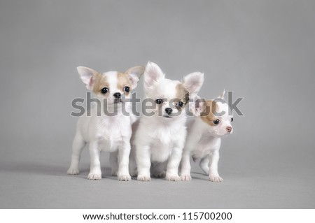 Chihuahua puppies portrait - stock photo