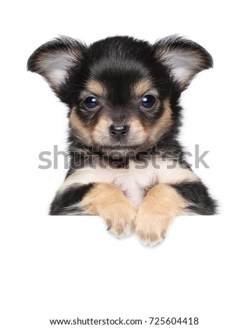 Chihuahua puppy above banner isolated on white background