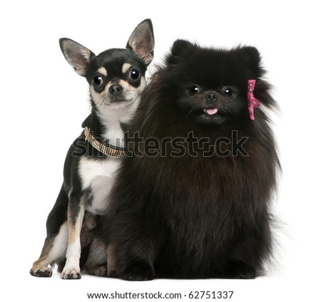 Chihuahua puppy and black fluffy dog, sitting in front of white background - stock photo