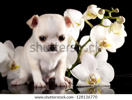 Chihuahua puppy and flower - stock photo