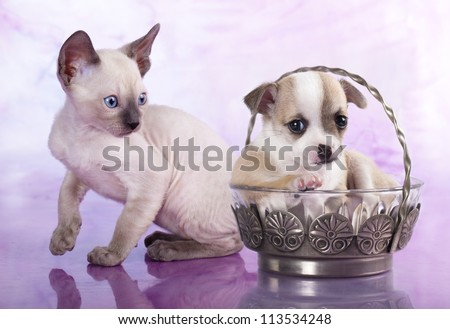 Chihuahua puppy and kitten - stock photo