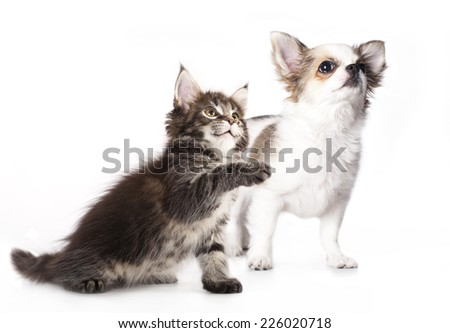 Chihuahua puppy and kitten breeds Maine Coon, Cat and dog - stock photo