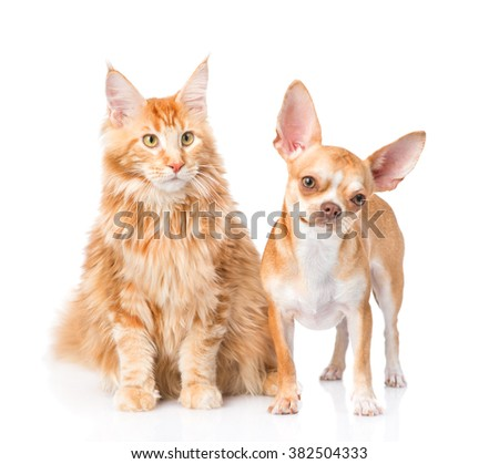 Chihuahua puppy and maine coon cat together. isolated on white background