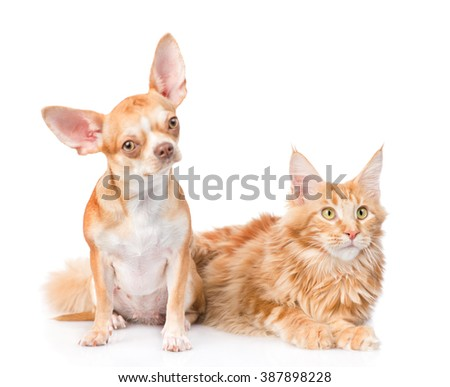 Chihuahua puppy and maine coon cat together. isolated on white background - stock photo
