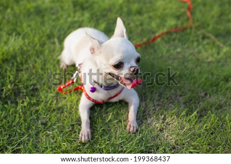 chihuahua puppy at the garden