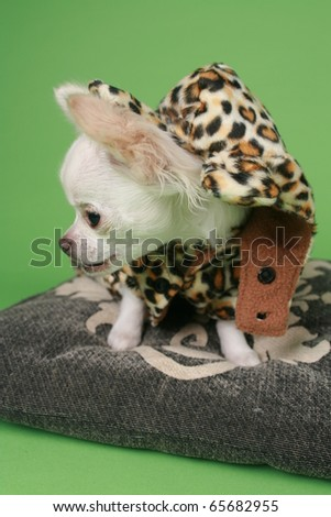 Chihuahua puppy dressed in panther clothes - stock photo