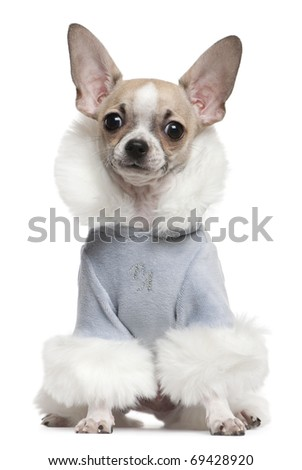 Chihuahua puppy dressed in winter outfit, 4 months old, sitting in front of white background - stock photo