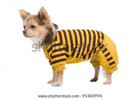 Chihuahua puppy dressed in yellow and black costume - stock photo