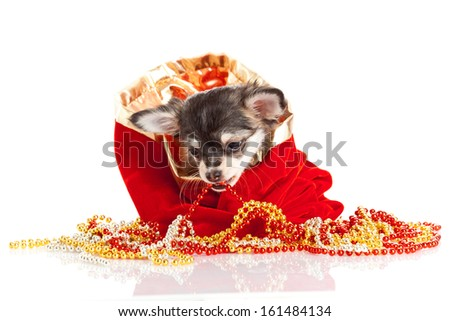 Chihuahua puppy for Christmas - stock photo