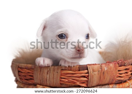 Chihuahua puppy in a basket in front of white background - stock photo