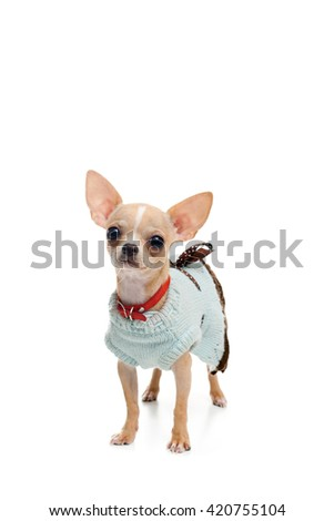 Chihuahua puppy in a dress