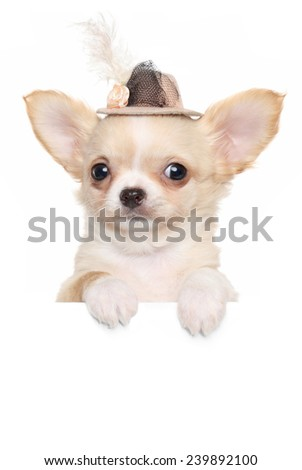 Chihuahua puppy in a fashionable hat over a banner isolated on white background