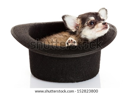 chihuahua puppy in a hat. - stock photo