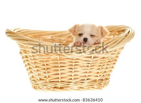 Chihuahua Puppy inside a natural colored wicker laundry basket sleeping peeking with one eye open, isolated on white background.