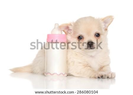 Chihuahua puppy lying near baby bottle on white background - stock photo