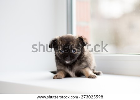 Chihuahua puppy lying on the windowsill. - stock photo