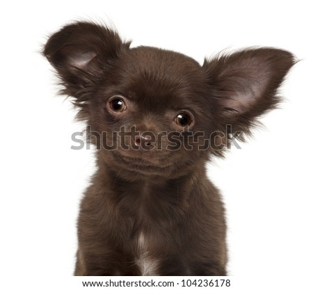 Chihuahua puppy, 3 months old, against white background - stock photo