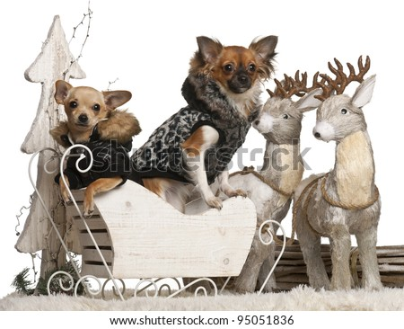 Chihuahua puppy, 6 months old, and Chihuahua, 9 months old, in Christmas sleigh in front of white background - stock photo