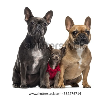 Chihuahua puppy (3 months old) and two French Bulldog (4 and 2 years old) sitting and looking at the camera, isolated on white - stock photo