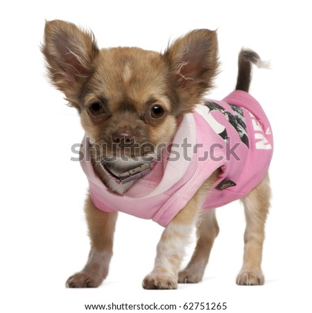 Chihuahua puppy, 3 months old, dressed up and standing in front of white background - stock photo
