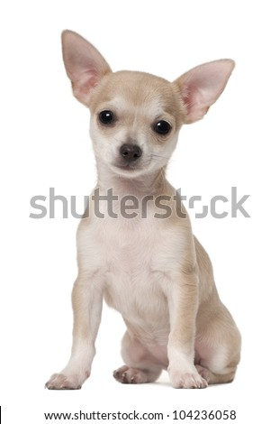 Chihuahua puppy, 3 months old, sitting against white background - stock photo