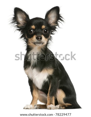 Chihuahua puppy, 6 months old, sitting in front of white background - stock photo