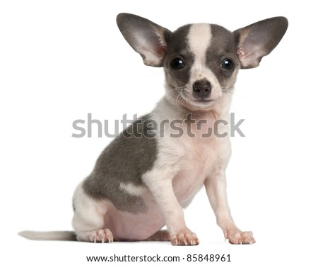 Chihuahua puppy, 3 months old, sitting in front of white background - stock photo