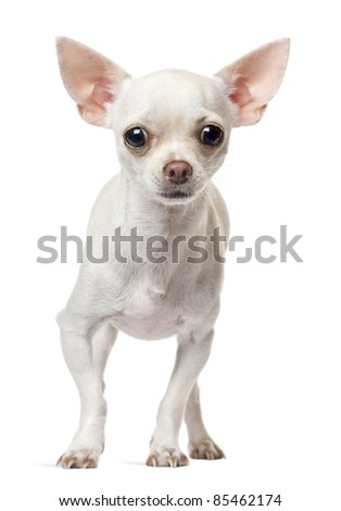 Chihuahua puppy, 6 months old, standing in front of white background