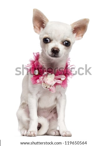 Chihuahua puppy, 4 months old, wearing pink lace collar, sitting and looking at camera against white background
