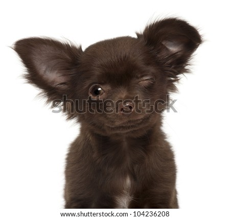 Chihuahua puppy, 3 months old, winking against white background - stock photo