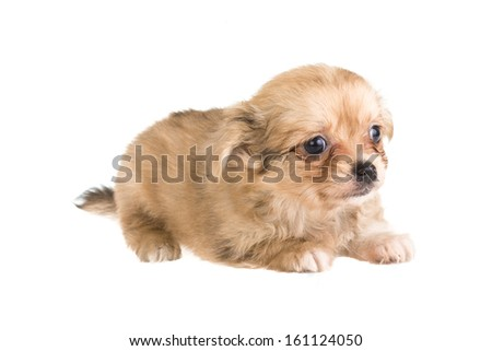 Chihuahua puppy om white background